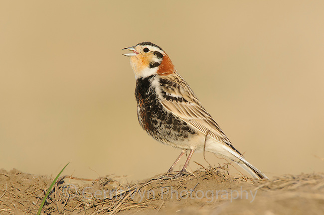 Adult male Chestnut-collaed Longspur (Calcarius ornatus) in early spring singing. Note the light feather tips still present on teh belly. Ft. Pierre National Grassland, South Dakota. April.