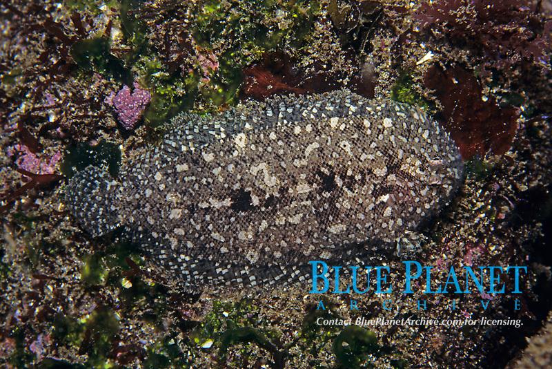 sole, Parachirus sp., Izu ocean park, Sagami bay, Izu peninsula, Shizuoka, Japan, Pacific Ocean