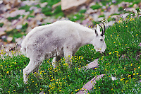 Mountain Goat,Oreamnos americanus, adult with summer coat eating wildflowers, Logan Pass,Glacier National Park, Montana, USA, July 2007