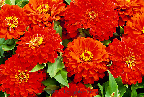 Orange Zinnias with Dahlia form flowers a Dreamland Hybrid from Park seed co.