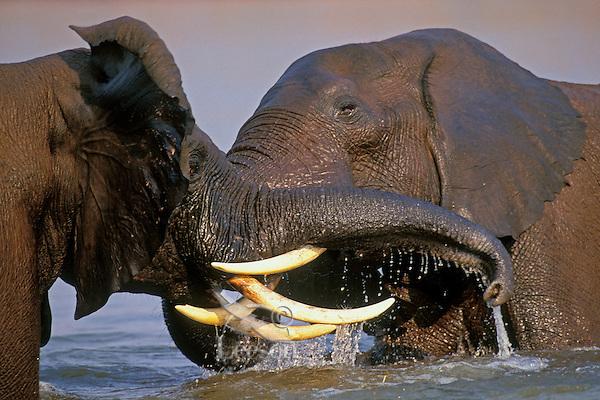 African Elephant bulls (Loxodonta africana) engaging in dominance behavior--sparring. Lake Kariba, Matusadona National Park, Zimbabwe.