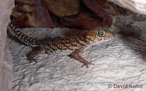 1105-0902  Panther Gecko (Pictus Gecko), Paroedura picta  © David Kuhn/Dwight Kuhn Photography