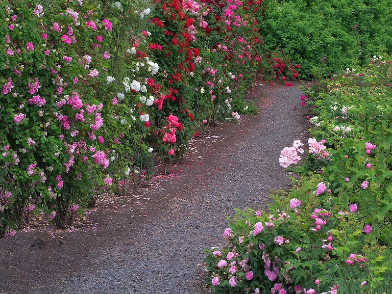 Path through roses. Heirloom Gardens. St. Paul, Oregon