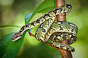 Madagascar tree boa {Sanzinia madagascariensis} tropical rainforest. Masoala Peninsula National Park, north east Madagascar.