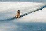 A river otter pops up out of a crack in the ice on Jackson Lake in Grand Teton National Park, Wyoming.