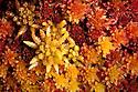 Sphagnum moss {Sphagnum sp.} Isle of Mull, Scotland. June.