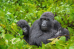 Mother caring for her babies. Picture taken at Gorilla trekking in Rwanda. On the first out of three gorilla trekking days we had a havy rain shower, with thunderstorm and lightning. No need to say that both the photographers and the gorillas were not happy with the weather | Mor passer på barna. Bildet er tatt i Rwanda på første av tre gorilla trekkinger, og under det første møtet med gorillaer hadde vi lyn og torden med masse regn. Det er vel unødvendig å si at både fotografene og gorillaene var missfornøyde med været.