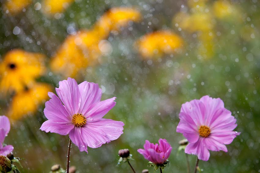 Europa, DEU, Deutschland, Nordrhein Westfalen, NRW, Bergisches Land, Blume, Blüte, Regen, Regenschauer, Sonnenlicht, Gegenlicht, Kategorien und Themen, Natur, Umwelt, Pflanzen, Pflanzenkunde, Botanik, Biologie, Wetter, Wetterelemente, Wetterlage, Wetterkunde, Witterung, Witterungsbedingungen, Wettererscheinungen, Meteorologie, Wettervorhersage<br /> <br /> [Fuer die Nutzung gelten die jeweils gueltigen Allgemeinen Liefer-und Geschaeftsbedingungen. Nutzung nur gegen Verwendungsmeldung und Nachweis. Download der AGB unter http://www.image-box.com oder werden auf Anfrage zugesendet. Freigabe ist vorher erforderlich. Jede Nutzung des Fotos ist honorarpflichtig gemaess derzeit gueltiger MFM Liste - Kontakt, Uwe Schmid-Fotografie, Duisburg, Tel. (+49).2065.677997, archiv@image-box.com, www.image-box.com]