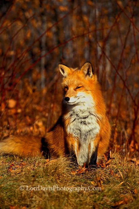 Autumn Red Fox   #W3