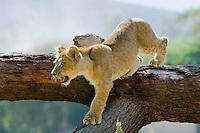 African Lion (Panthera leo) cub.