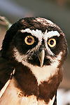 spectacled owl, close-up face