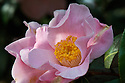 Camellia x Williamsii 'Pink Wave' (japonica x saluenensis), mid March.