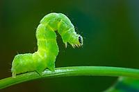 insect, Cabbage Moth caterpillar, Autographa gamma, Pontevedra, Spain
