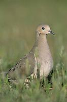Mourning Dove, Zenaida macroura, adult, Lake Corpus Christi, Texas, USA, May 2003
