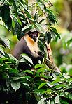 Diana monkey, indigenous to West Africa. (captive)