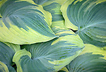 Vashon-Maury Island, WA: Detail of leaves of the hosta  'My Friend Nancy'