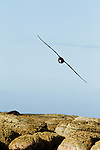 Northern Giant Petrel (Macronectes halli) flying over coastal rocks, Kaikoura, South Island, New Zealand