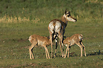 A mother pronghorn antelope feeds her two fawns in South Dakota.