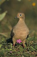 Mourning Dove, Zenaida macroura,adult in Wildflowers, Starr County, Rio Grande Valley, Texas, USA