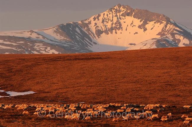 Reindeer (Rangifer tarandus) and mountains. Seward Peninsula, Nome, Alaska. May.
