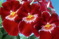 Miltoniopsis Jean Sabourin 'Vulcain' AM/AOS awarded orchid hybrid (Aurora x Piccadilly, 1956)
