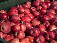 Apfelanbau, Algund bei Meran, Region Südtirol-Bozen, Italien, Europa<br /> apple cultivation,  Lagundo near Merano, Region South Tyrol-Bolzano, Italy, Europe