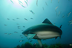 During a dive at Tuhua Reef at Mayor Island, a bronze whaler shark got a little close for comfort.