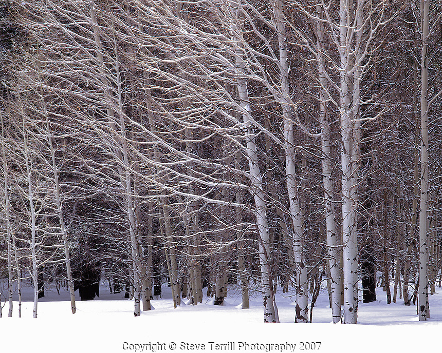 Aspen trees in snow in Winema National Forest, Oregon