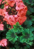 Annual geranium climbing Pelargonium Antik Orange