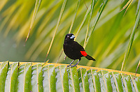 Passerini's Tanager or Scarlet-rumped Tanager  (Ramphocelus passerinii).  Found Central America.  This one photographed in Costa Rica.