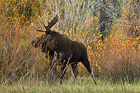 Bull Moose (Alces alces), Western U.S., fall.