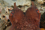 Amphioctopus burryi   (Voss, 1950)<br /> brown-striped octopus, BHB