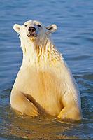 polar bear cub, Ursus maritimus, in water, Arctic National Wildlife Refuge, Alaska, Arctic Ocean, polar bear, Ursus maritimus