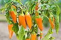 Orange chilli peppers, mid September.