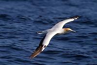 Australasian Gannet in Flight off Wollongong, Australia