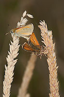 Braune Krabbenspinne, hat Schmetterlinge (Dickkopffalter) bei der Paarung erbeutet, Busch-Krabbenspinne, Kamm-Buschkrabbenspinne, Xysticus cf. cristatus, Krabbenspinnen, Thomisidae, crab spiders