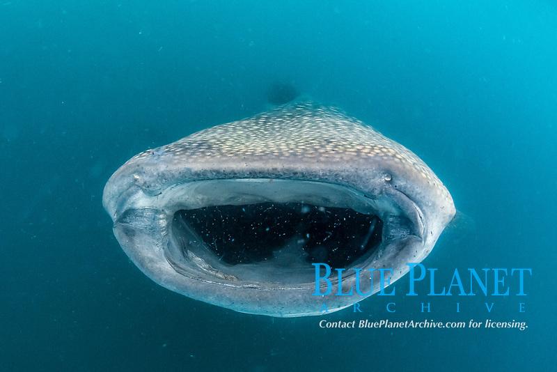 whale shark, Rhincodon typus, filter feeding underwater off El Mogote, La Paz, Baja California Sur, Mexico, Sea of Cortez, Gulf of California, Pacific Ocean