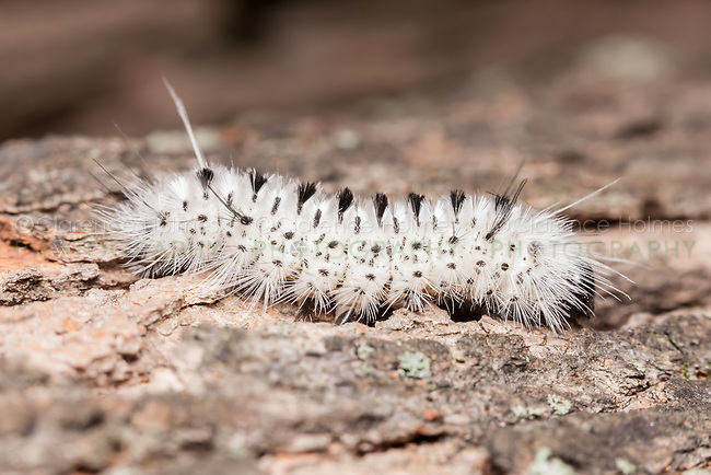 A Hickory Tussock Moth (Lophocampa caryae) caterpillar (larva) on the side of a tree.