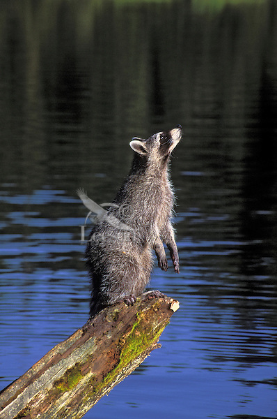Raccoon youngster playing on a log at the edge of a lake looks up to watch bird fly by. Summer. North America..(Procyon lotor).