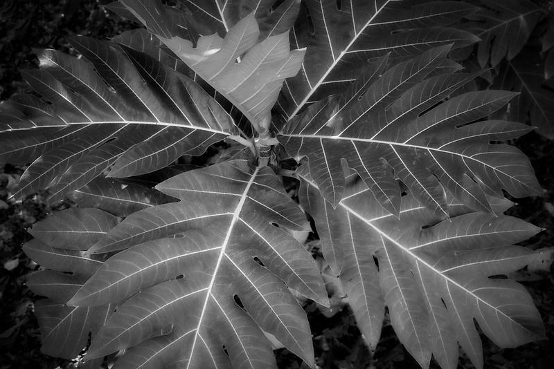 Breadfruit tree leaves. Kauai, Hawaii