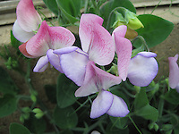 Sweet Pea 'Northern Lights', Lathyrus Northern Lights. Photocredit: ©Mark Rowland. [Sourced by GardenPhotos.com]