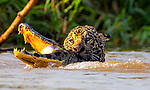 Jaguar attack on caiman by Leighton Lum