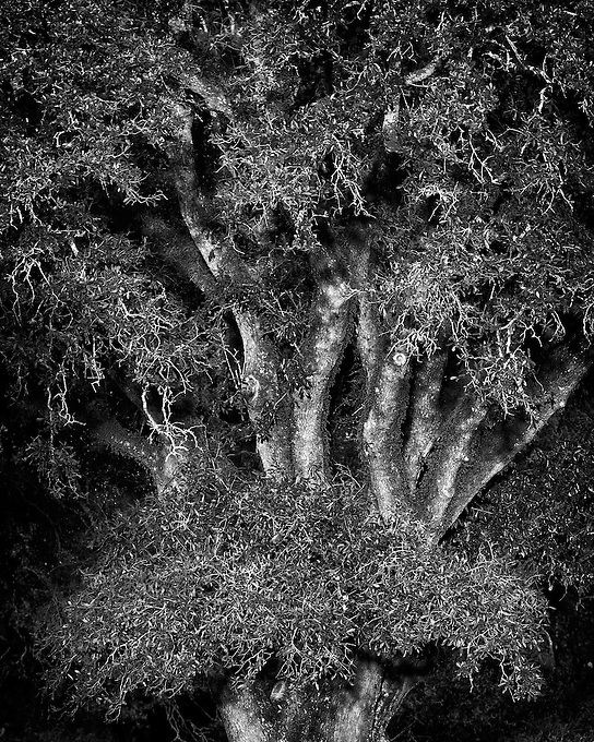 Last light of day gives a spooky glow to this tree along the Mississippi River, New Orleans.