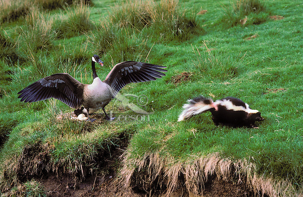Canada Goose (Branta canadensis) defends eggs in nest from Striped Skunk (Mephitis mephitis). Fraser Valley, British Columbia. Canada. Spring.