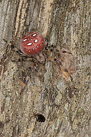 Vierfleck-Kreuzspinne, Vierfleckkreuzspinne, Weibchen, Kreuzspinne, Araneus quadratus, fourspotted orbweaver, Araneidae, Radnetzspinnen, Kreuzspinnen, orbweavers, orb-weaving spiders