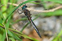 Unidentified Emerald Dragonfly