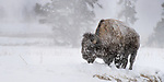 Male American Bison (Bison bison) in a snow storm. Firehole River Valley. Yellowstone National Park, Wyoming, USA. January