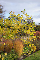 Cercis canadensis 'Silver Cloud'