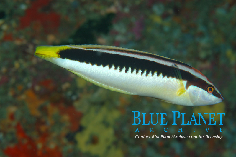 Combfish (Coris picta) a cleaner wrasse. Poor Knights Islands, New Zealand. South Pacific Ocean
