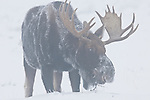 A moose forages for food in the December snows in Grand Teton National Park, Wyoming.